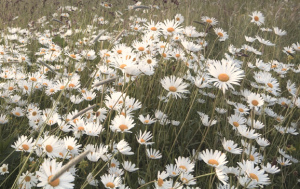 many daisy flowers at sunset in summer